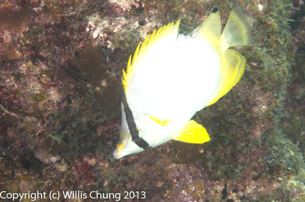 Spotfin butterflyfish by Willis Chung