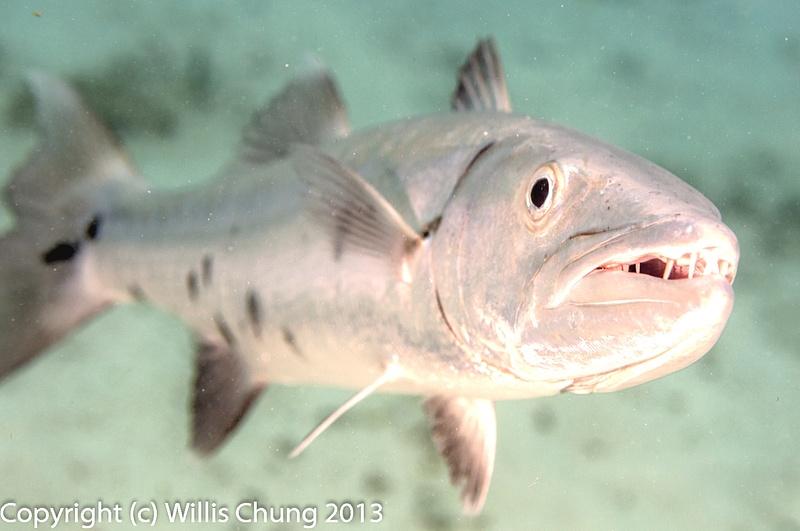 Barracuda teeth!