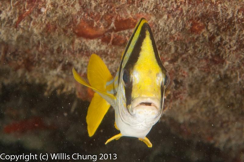 Porkfish face