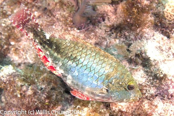 Redband parrotfish by Willis Chung