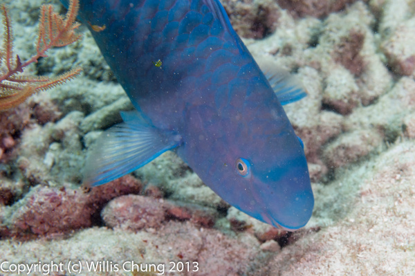 Blue parrotfish eating by Willis Chung