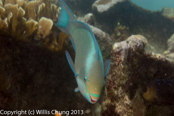 Queen parrotfish taking a bite by Willis Chung