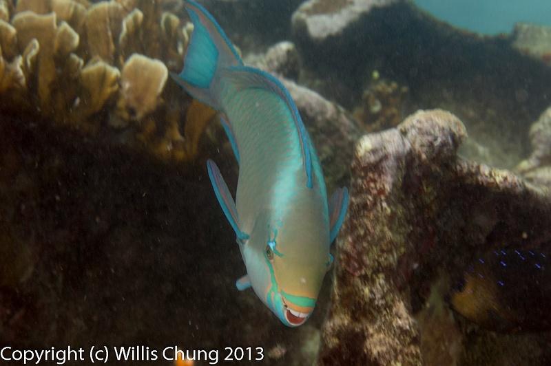 Queen parrotfish taking a bite