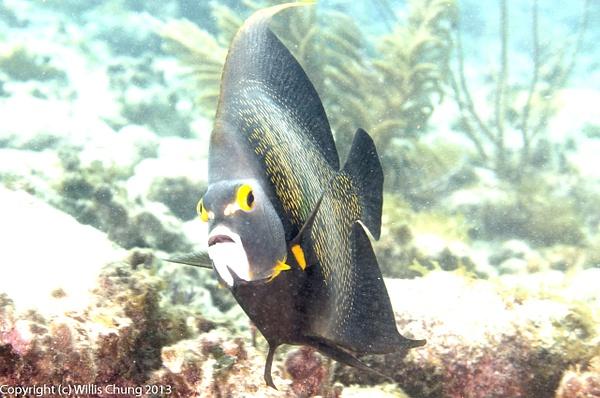 French angelfish mugshot 2 by Willis Chung