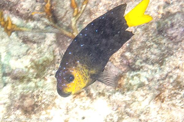 Yellowtail damselfish by Willis Chung