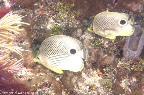 Foureye butterflyfish swimming in formation by Willis...
