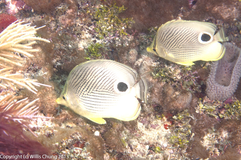 Foureye butterflyfish swimming in formation