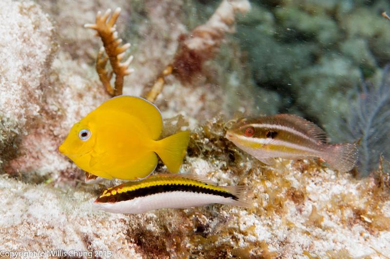 A gang: juvenile blue tang, clown wrasse, and princess parrotfish