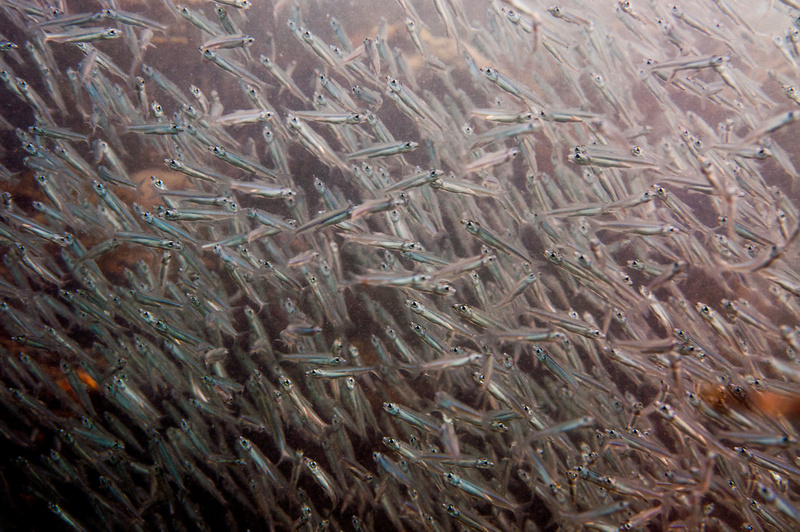 A school of silversides behind a coral head