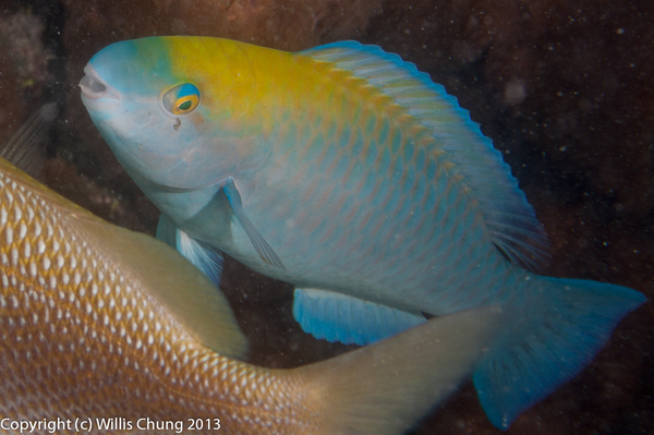 A juvenile blue parrotfish trying to be ignored by...