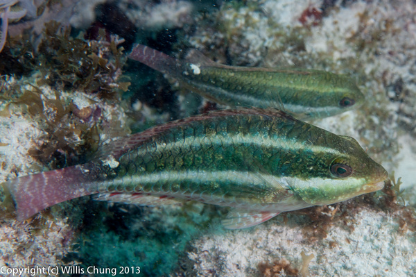 A pair of juvenile redband parrotfish by Willis Chung