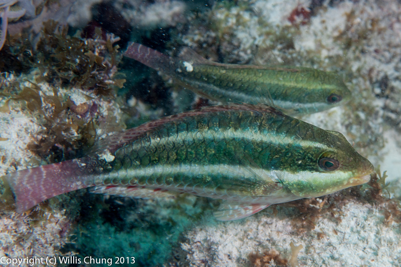 A pair of juvenile redband parrotfish