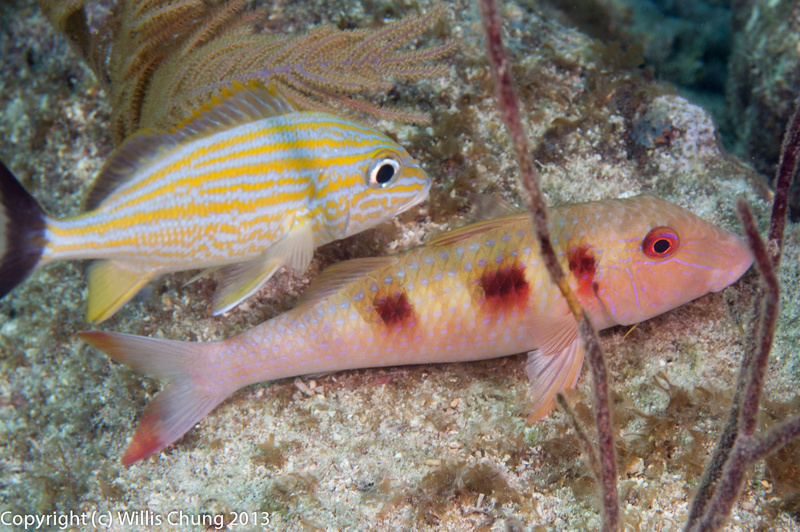 A young bluestriped grunt keeping a spotted goatfish company