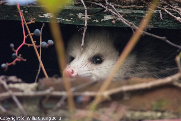 The opposum who came to  visit by Willis Chung