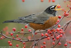 2013Nov Winter Cherries and Birds