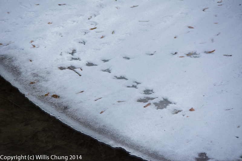 Signs of duck activity in the snow on the bank