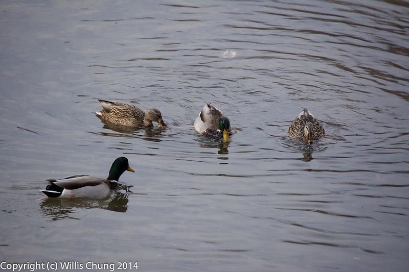 Ducks on Cherry Creek in Denver