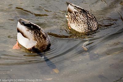 2014Jan Denver Ducks