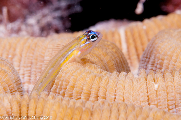 2014Mar Bonaire Scuba Macro Photos by Willis Chung