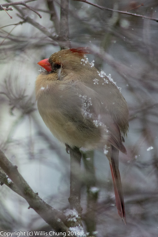 Snowing on a female cardinal