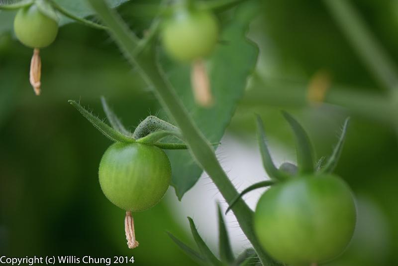 Eventually become tomatoes