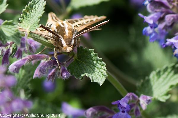 A whitelined sphinx hummingbird moth resting between...