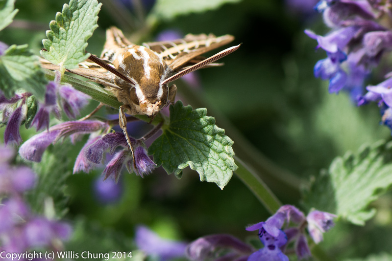 A whitelined sphinx hummingbird moth resting between feedings in the russian sage
