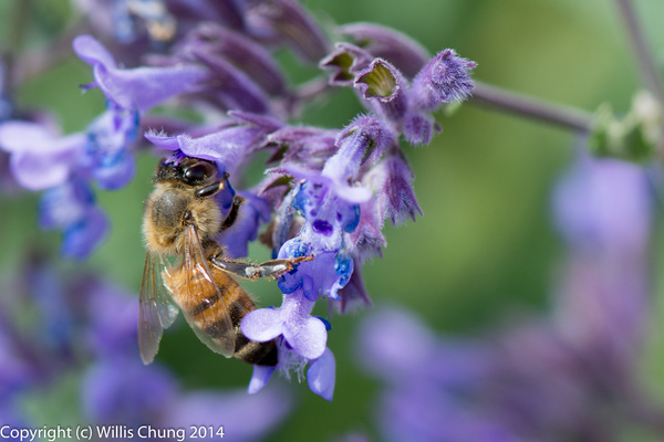 Bees working nearby in the russian sage by Willis Chung