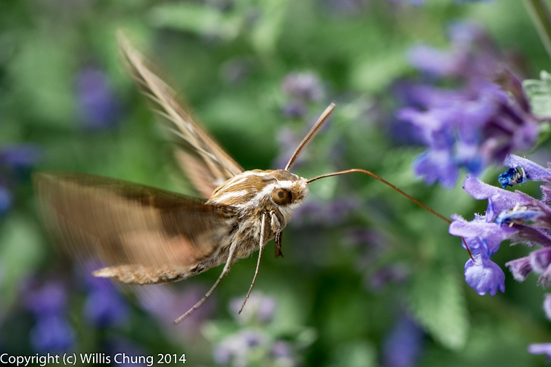 A whitelined sphinx moth hovering like a hummingbird, but not as shy. 105mm VR Micro