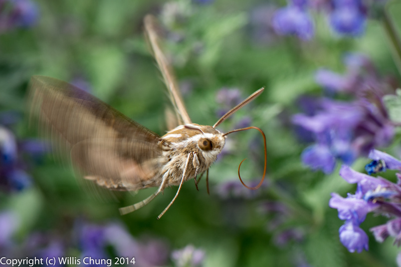 A whitelined sphinx moth, or hummingbird noth.