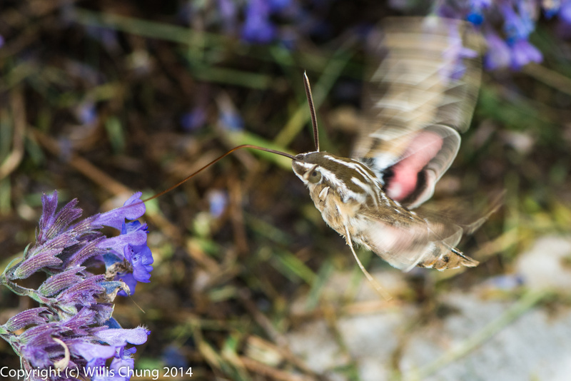 A whitelined sphinx moth feeding on russian sage