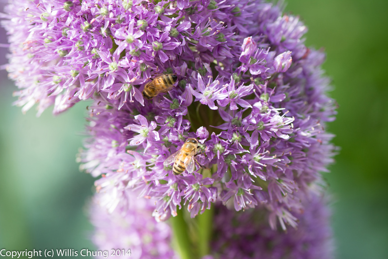 Bees on purple allium flowers