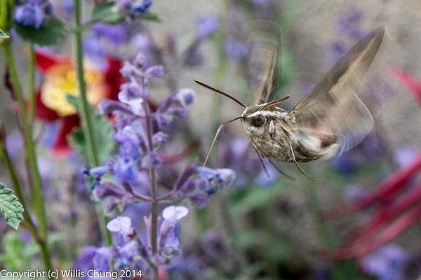A whitelined sphinx moth feeding on russian sage.  Looks...