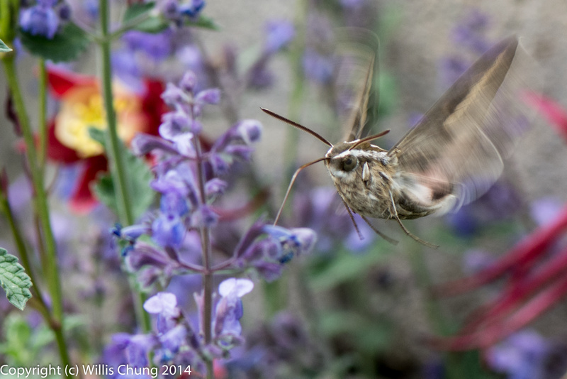 A whitelined sphinx moth feeding on russian sage.  Looks like a helicopter to me