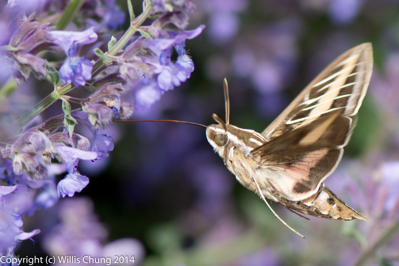 A whitelined sphinx moth feeding on russian sage