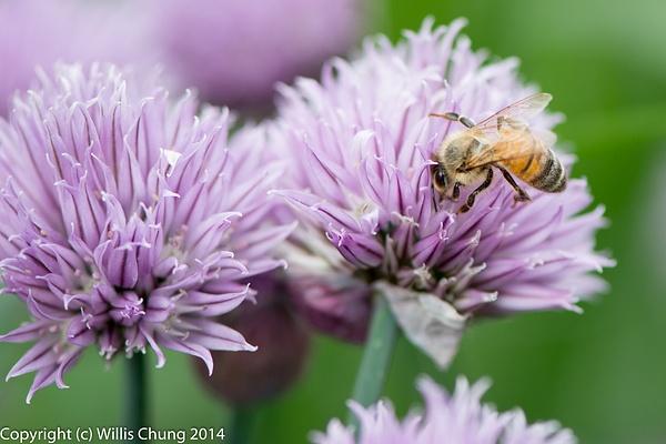 Bees feeding on Monardella odoratissima, I think.  From...