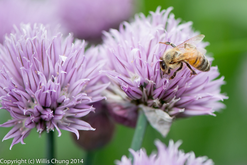 Bees feeding on Monardella odoratissima, I think.  From the mint family