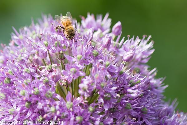 Bee on purple allium flowers by Willis Chung