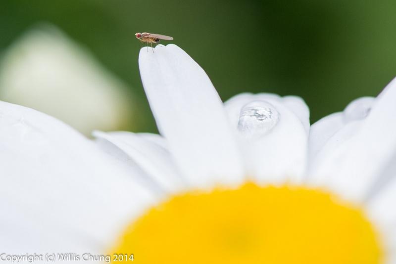 Fly on damp daisy