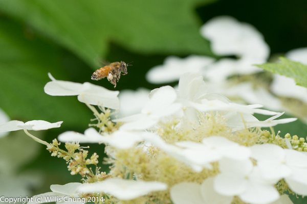 Picking a landing zone on the hydrangea by Willis Chung