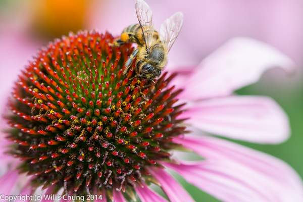 Visiting the secret flowers in Echinacea Purpurea