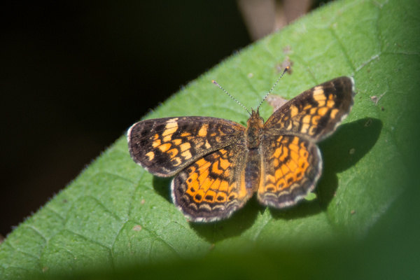 Gorgone Checkerspot by Willis Chung