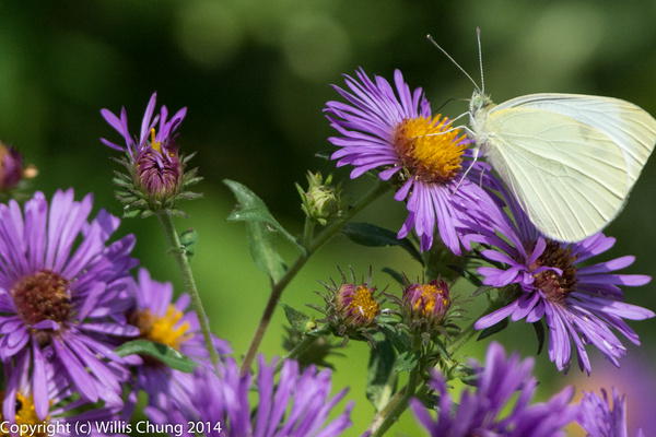 More butterfly action at 500mm!