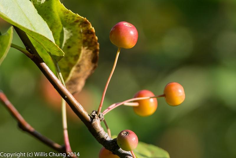 Ripening cherries, 500mm!