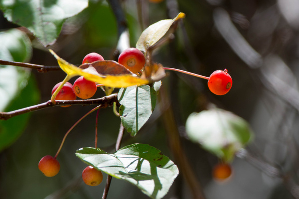 Cherries in midmorning light, ISO 200 by Willis Chung