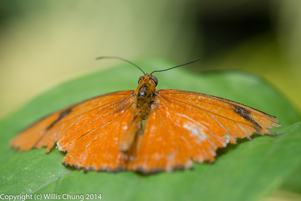 A beat up butterfly (Dryas iulia) by Willis Chung
