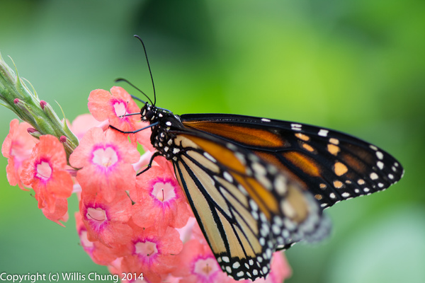 2014Aug Phipps Conservatory: Butterflies, Flowers, Bees...