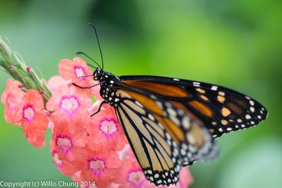 2014Aug Phipps Conservatory: Butterflies, Flowers, Bees