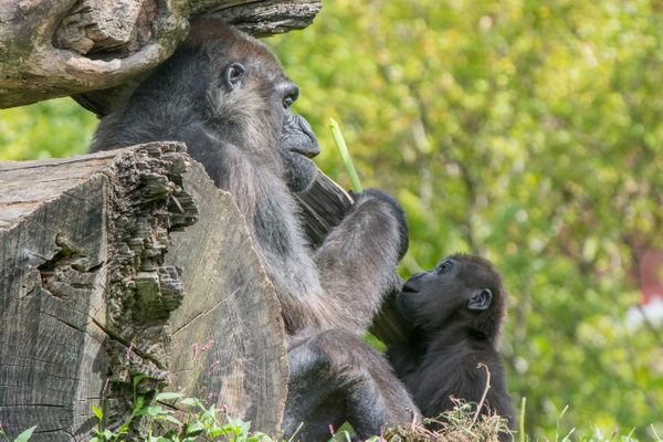 Adult and baby lowlands gorillas at lunch by Willis Chung