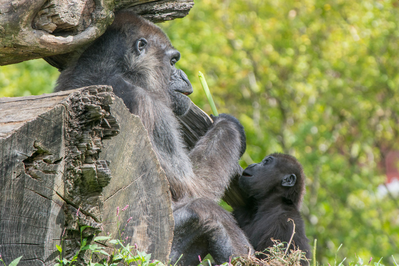 Adult and baby lowlands gorillas at lunch